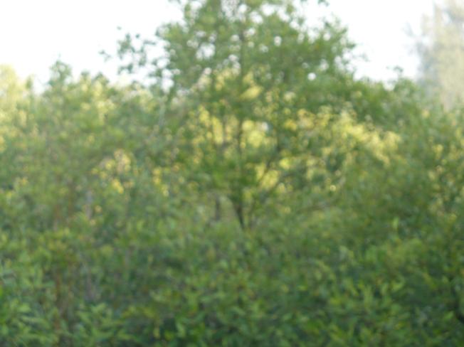 Sundari & Bani trees