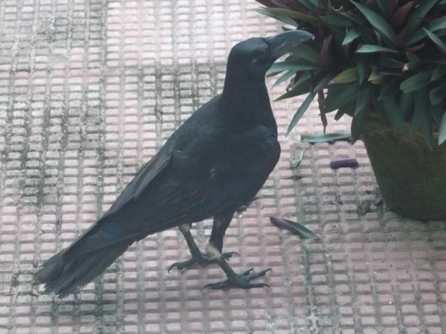 Guwahati crow